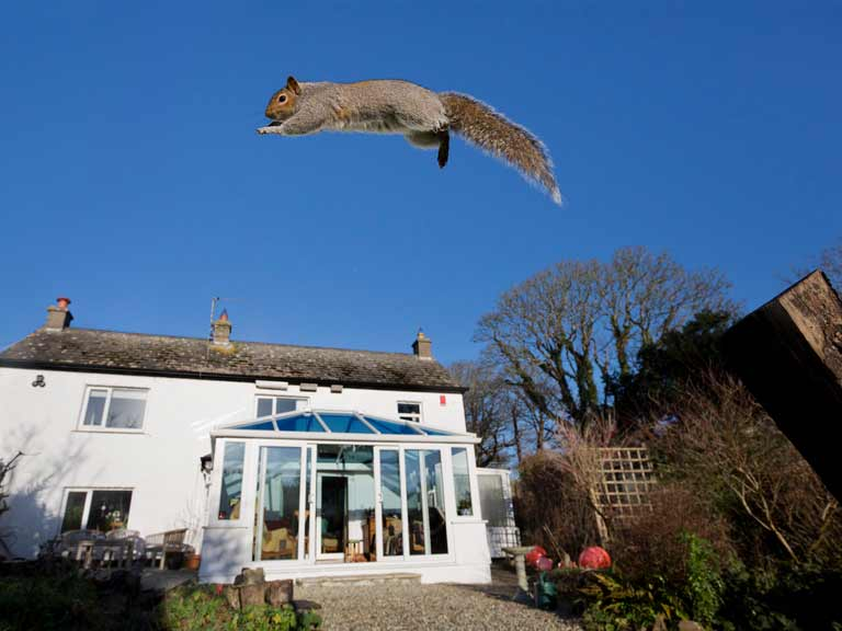 Grey squirrel leaping through the air