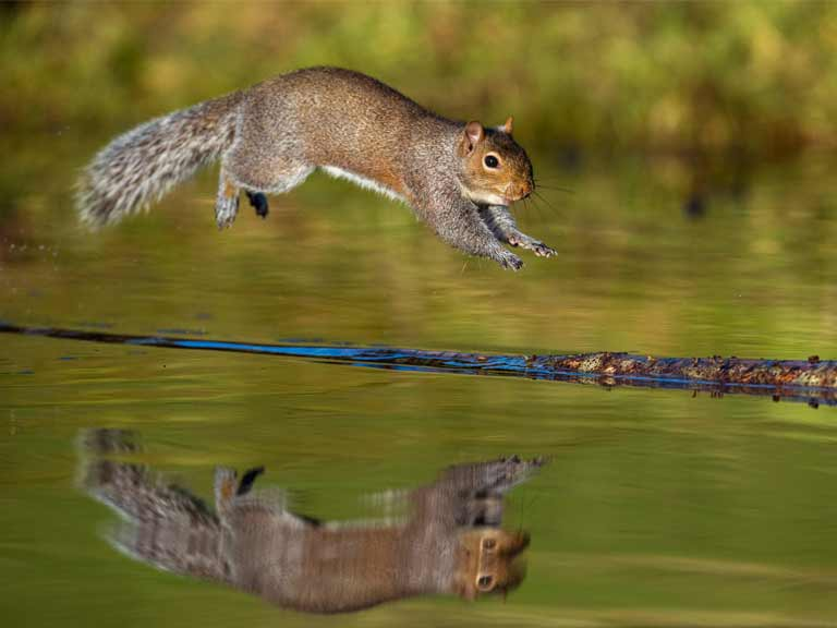 Squirrel jumping over pond