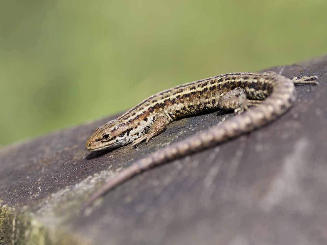 common lizard - Garden Lizard