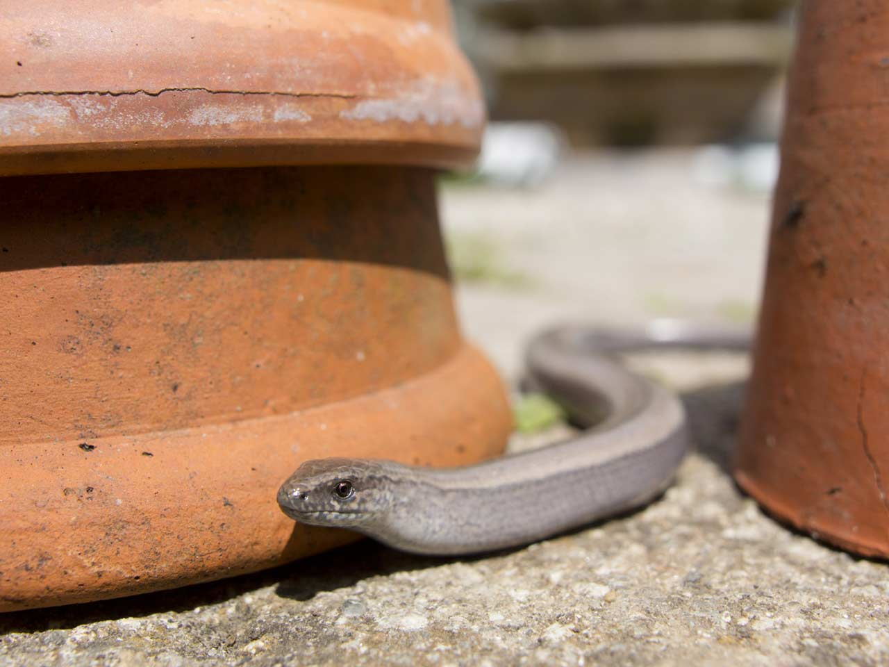 Slow worm male