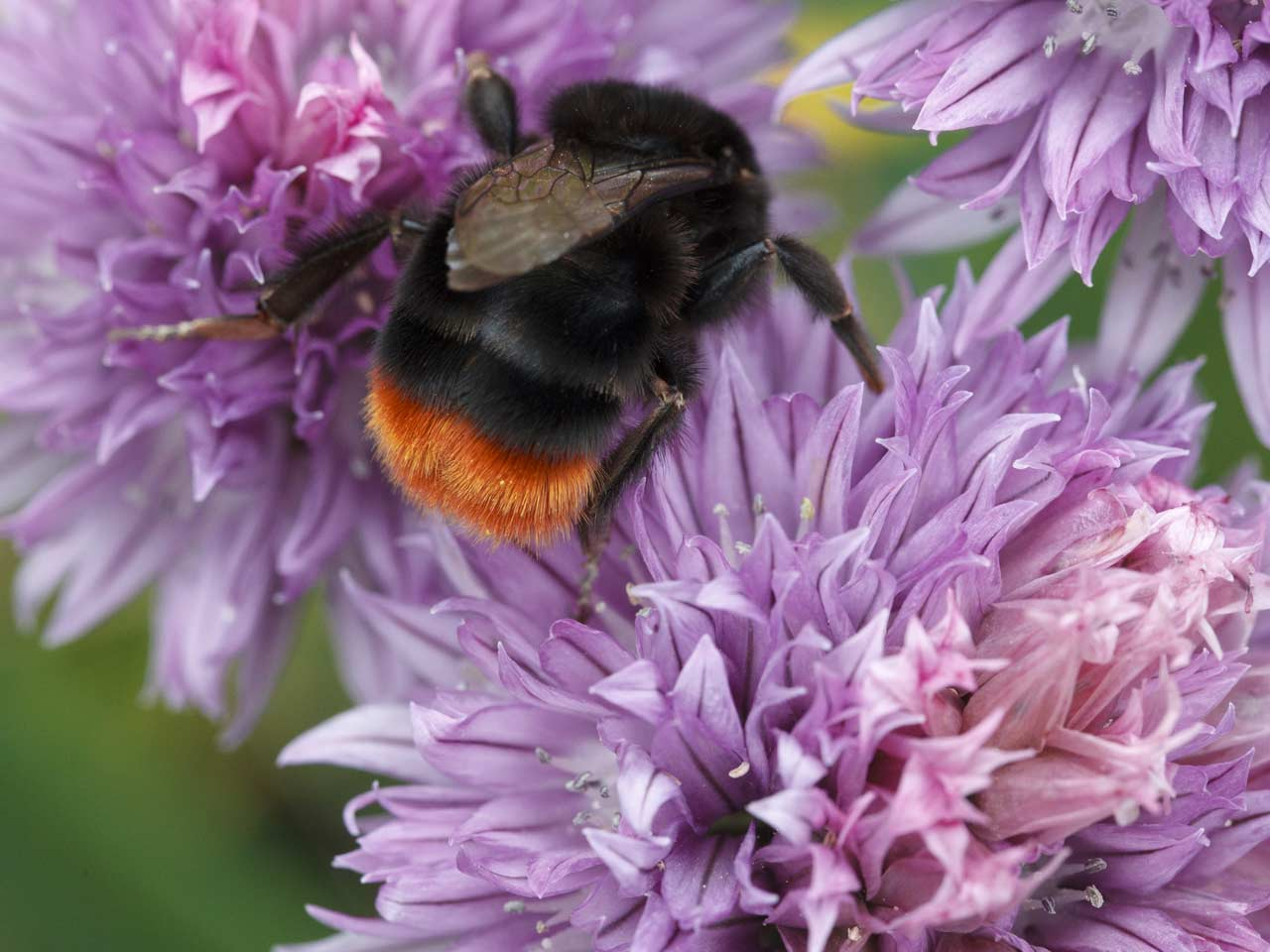Red-tailed bumblebee queen
