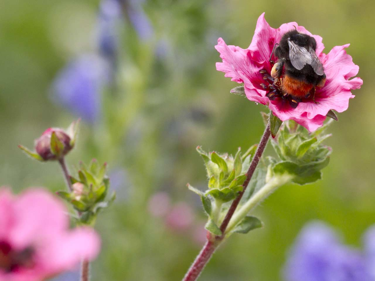 Red-tailed bumblebee worker