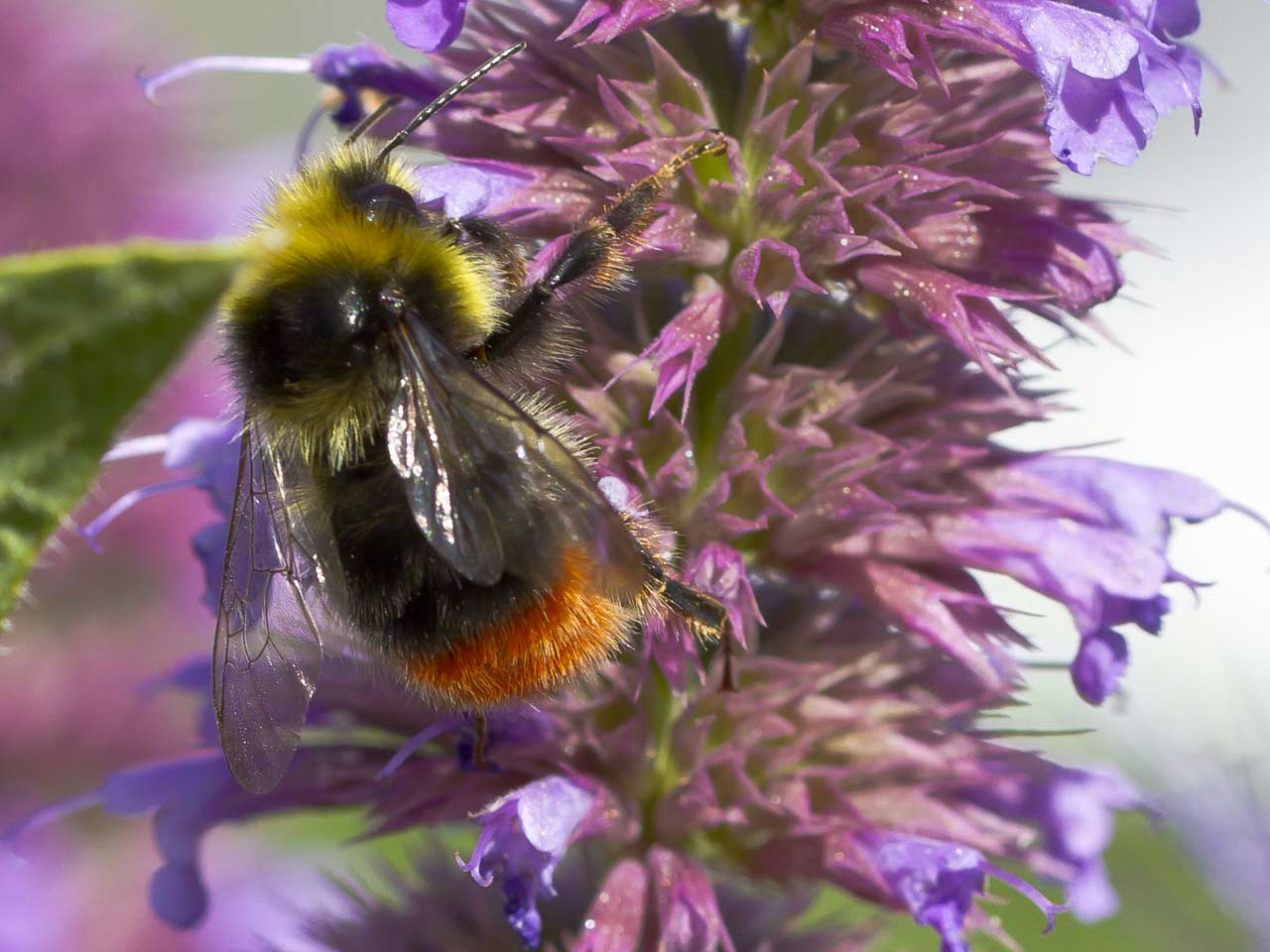 Red-tailed male bumblebee