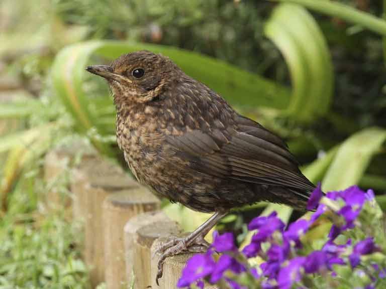 common garden birds saga