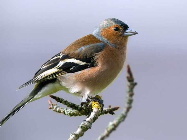 Common garden birds - ...