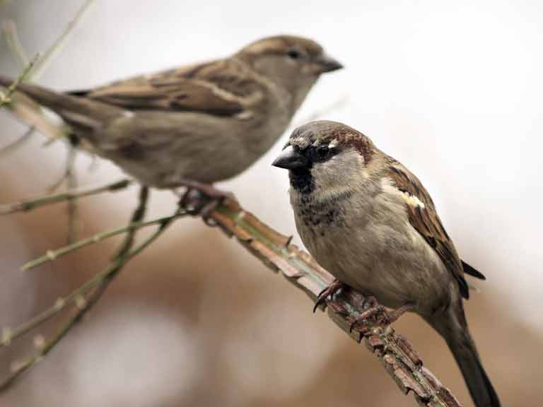 House sparrow, male and female
