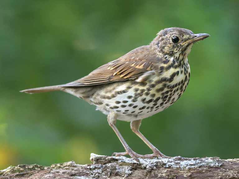 songthrush bird