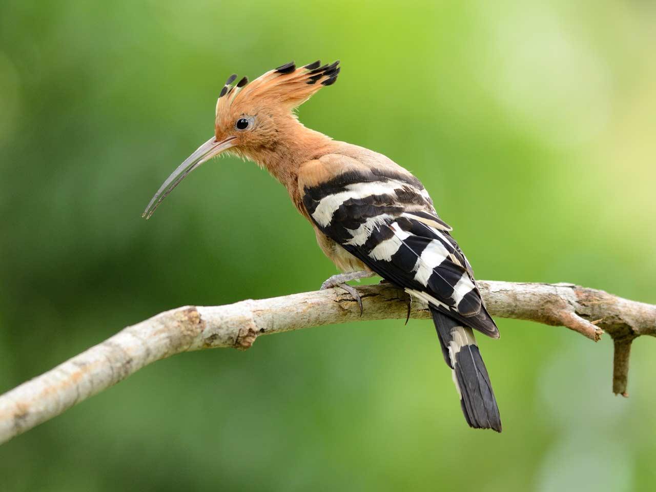Exotic birds of Britain - Saga