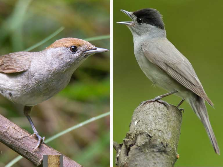 Blackcap female and male comparison