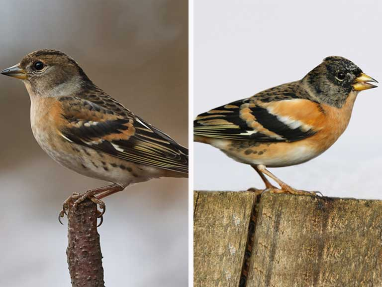 Brambling female and male