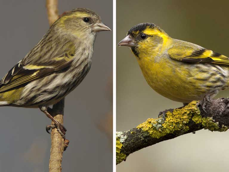 Siskin female and male comparison