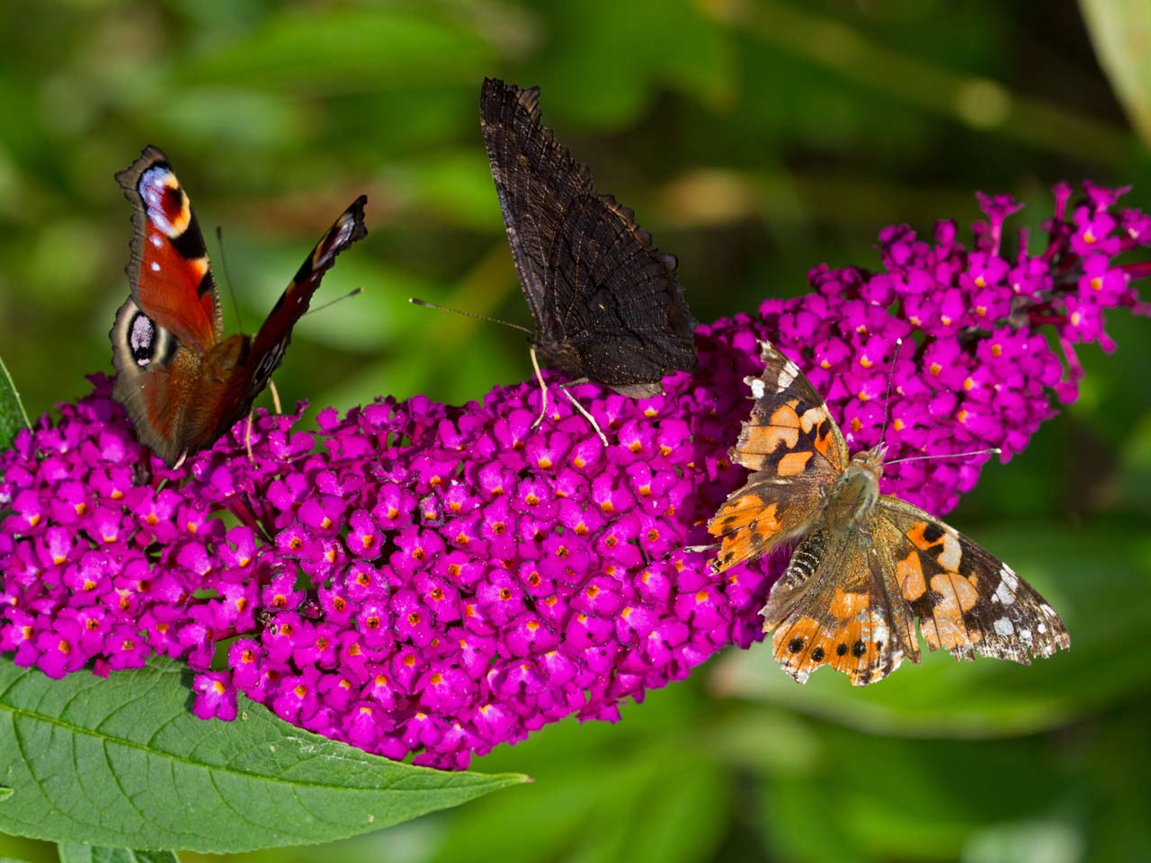 Butterfly plants: attracting butterflies to your garden - Saga