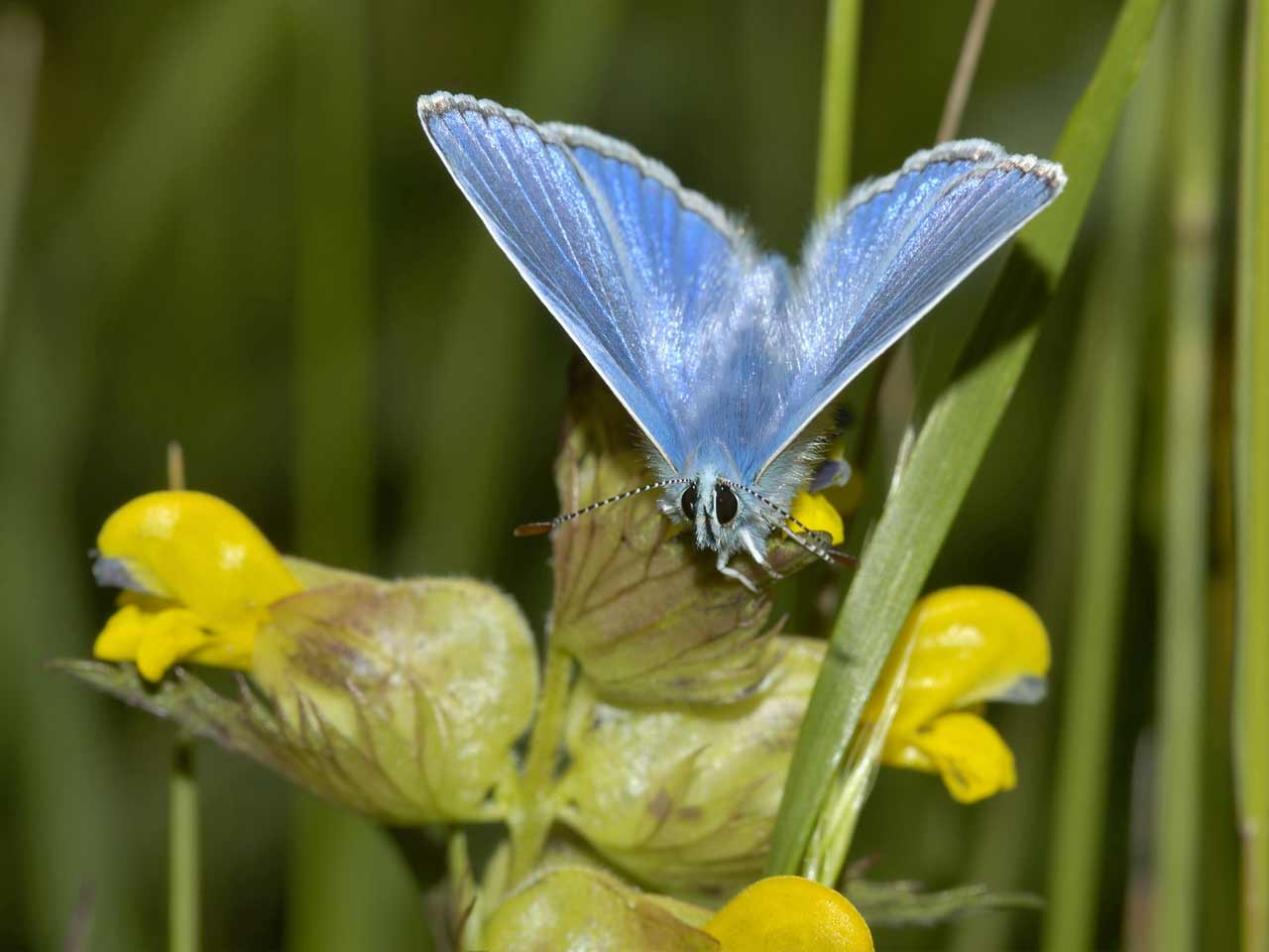 Common blue butterfly on yellow rattle