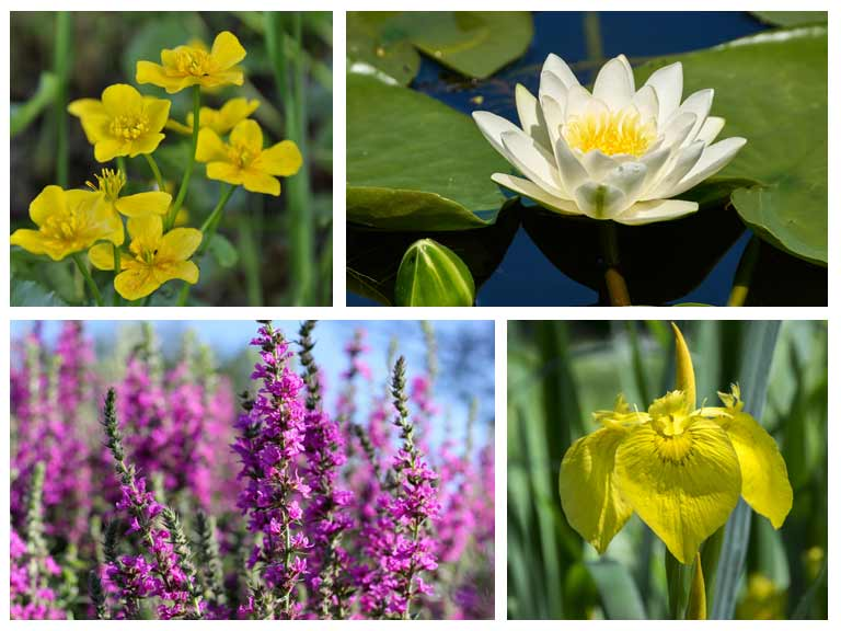 How to design and build a wildlife pond saga for Native pond plants
