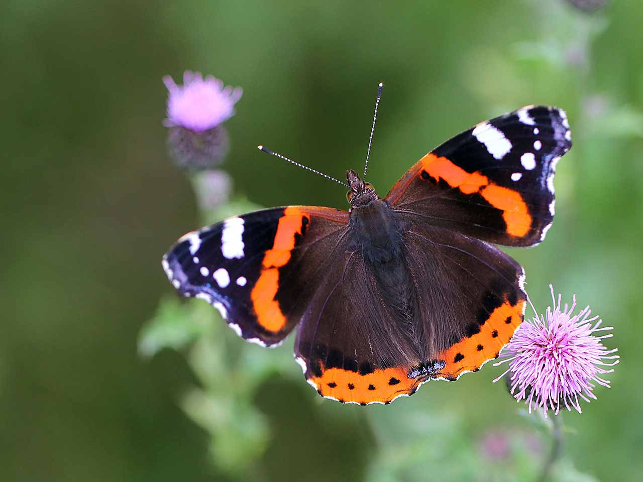 The red admiral butterfly: identification, origin & peak ...