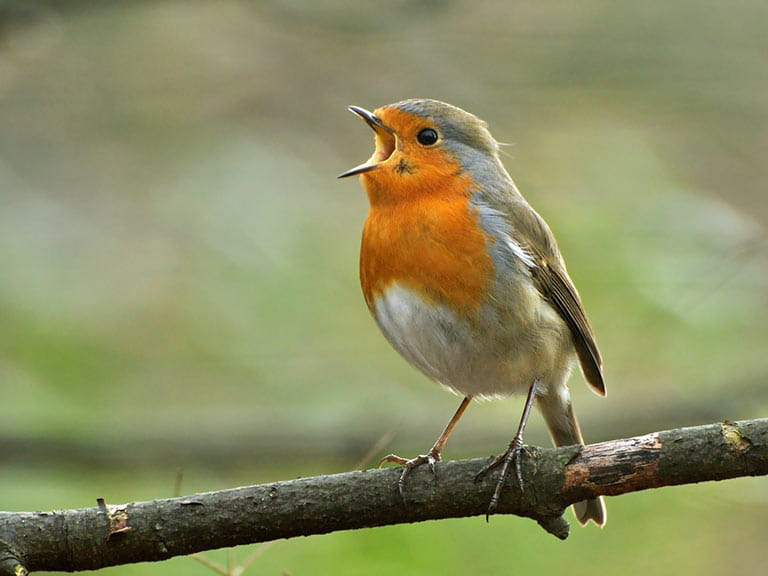 The robin in song