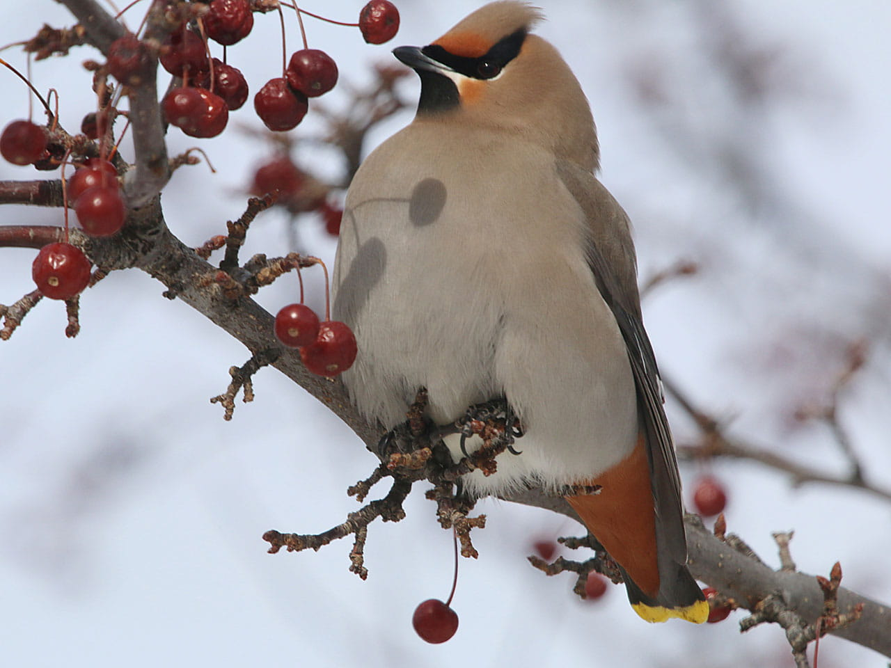 Waxwing bird sitting in tree in winter