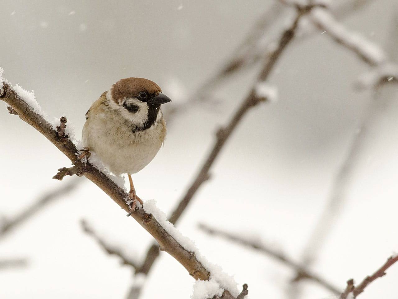 Sparrow sitting on a branc in winter snow