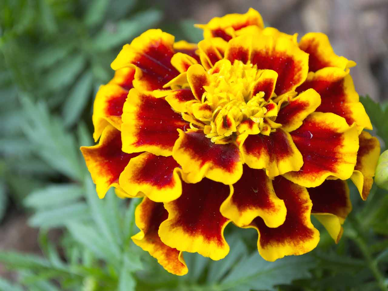 How To Grow African Marigolds Saga