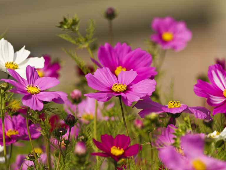 How To Grow Cosmos Flowers Saga