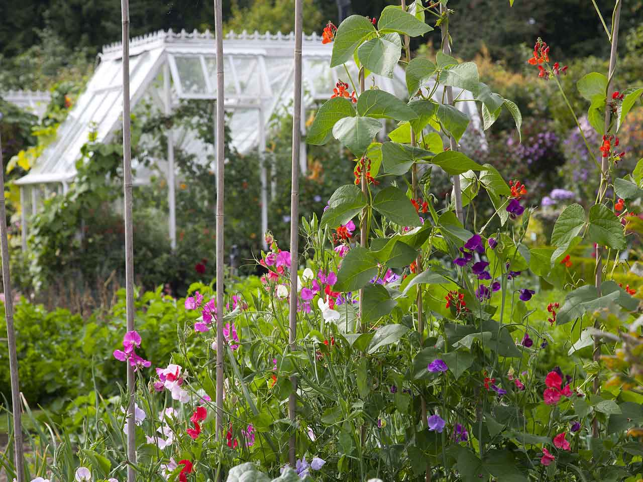 Sweet peas growing in cottage garden