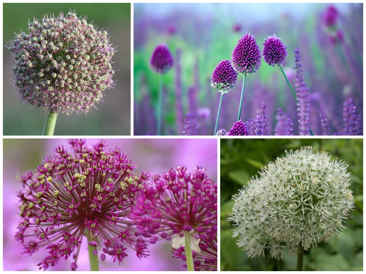 Allium varieties (clockwise from top left): Allium 'Gladiator', Allium sphaerocephalon, Allium 'Mount Everest' and Allium 'Globemaster'