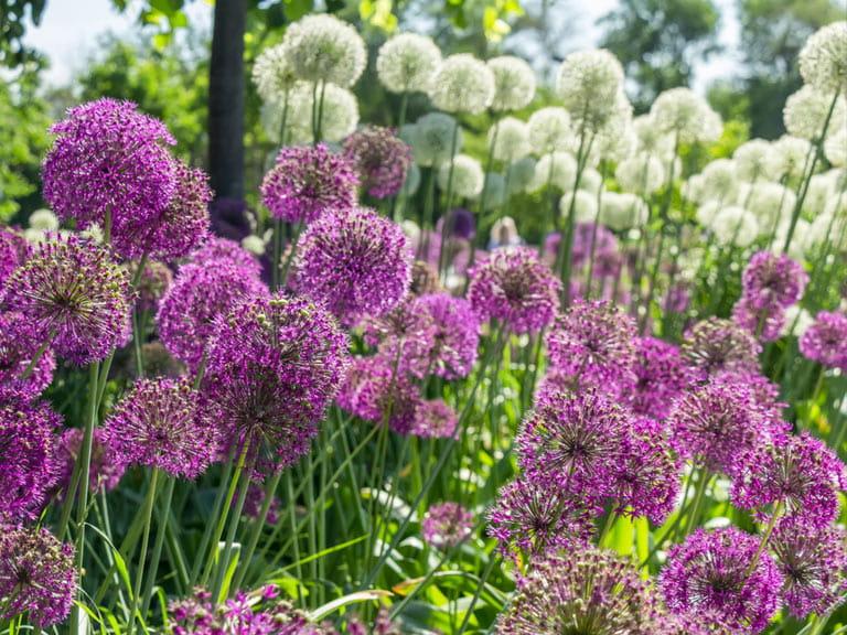 How To Grow Alliums Saga