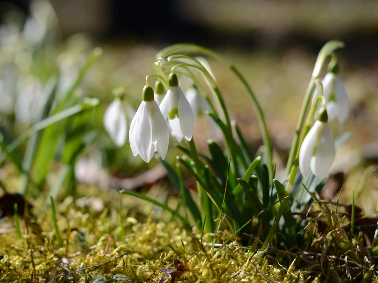 Create a beautiful snowdrop with your own hands