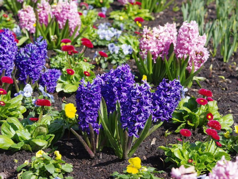 Hyacinths in a spring border