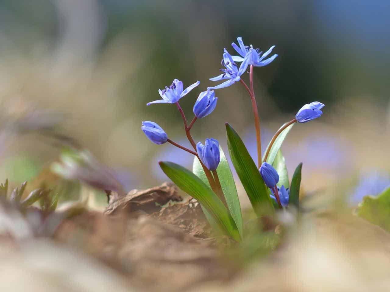How To Grow Little Blue Bulbs Saga