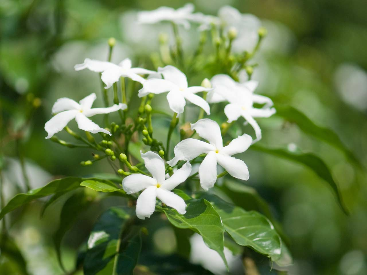 How to grow jasmine saga common white jasmine izmirmasajfo