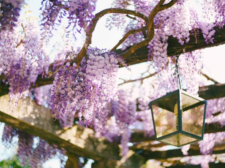 Wooden pergola with wisteria flowers hanging down