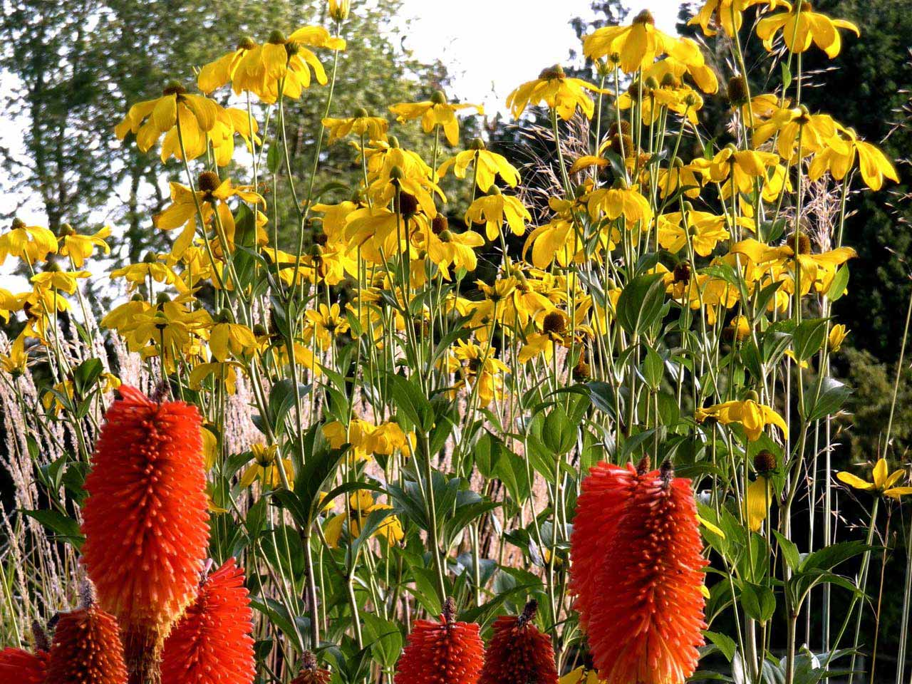 The best gold daisies for small gardens saga rudbeckia herbstonne with kniphofia prince igor izmirmasajfo Gallery