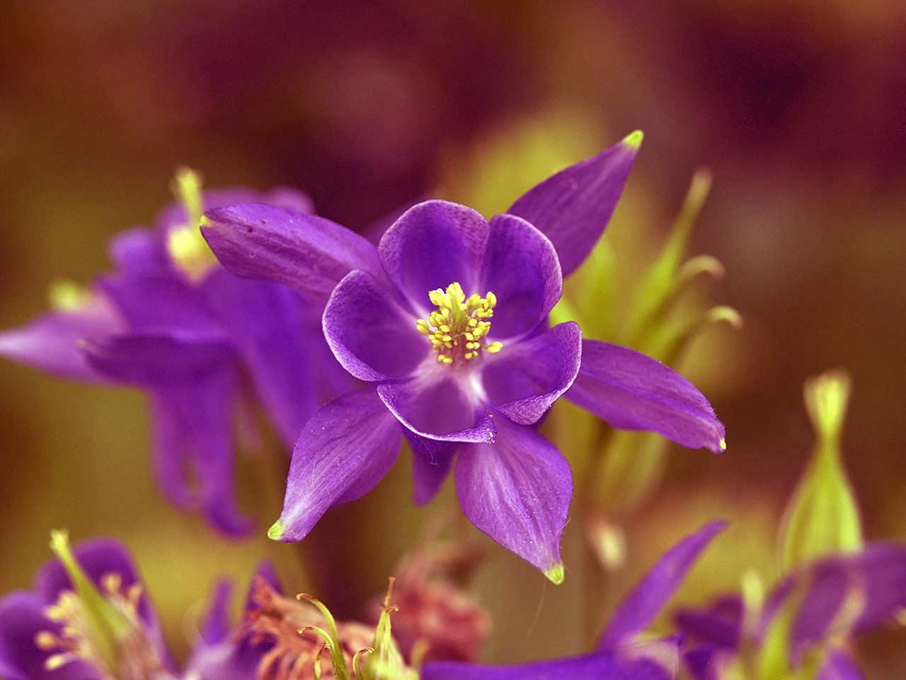 How To Grow May Flowering Aquilegias Or Columbines Saga