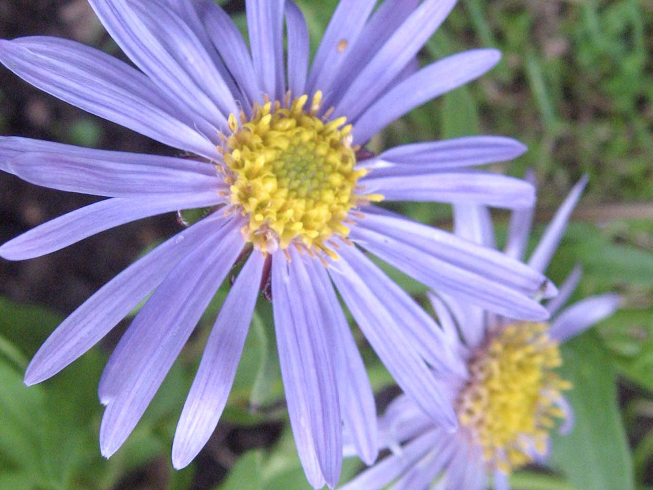 Aster x Frikatii 'Monch'