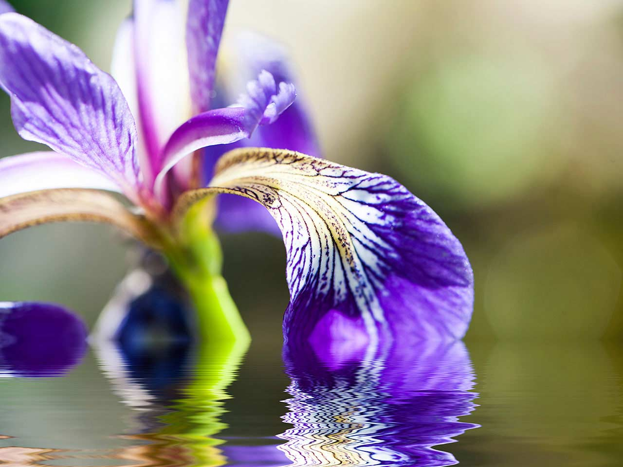 Beareded iris in water