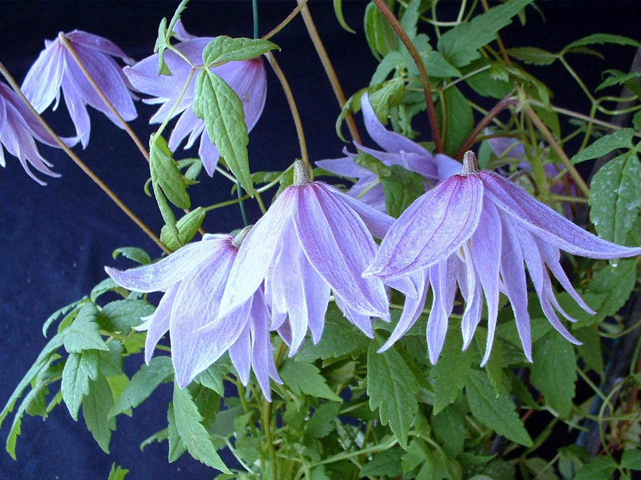 How to grow spring flowering clematis saga clematis macropetala mightylinksfo