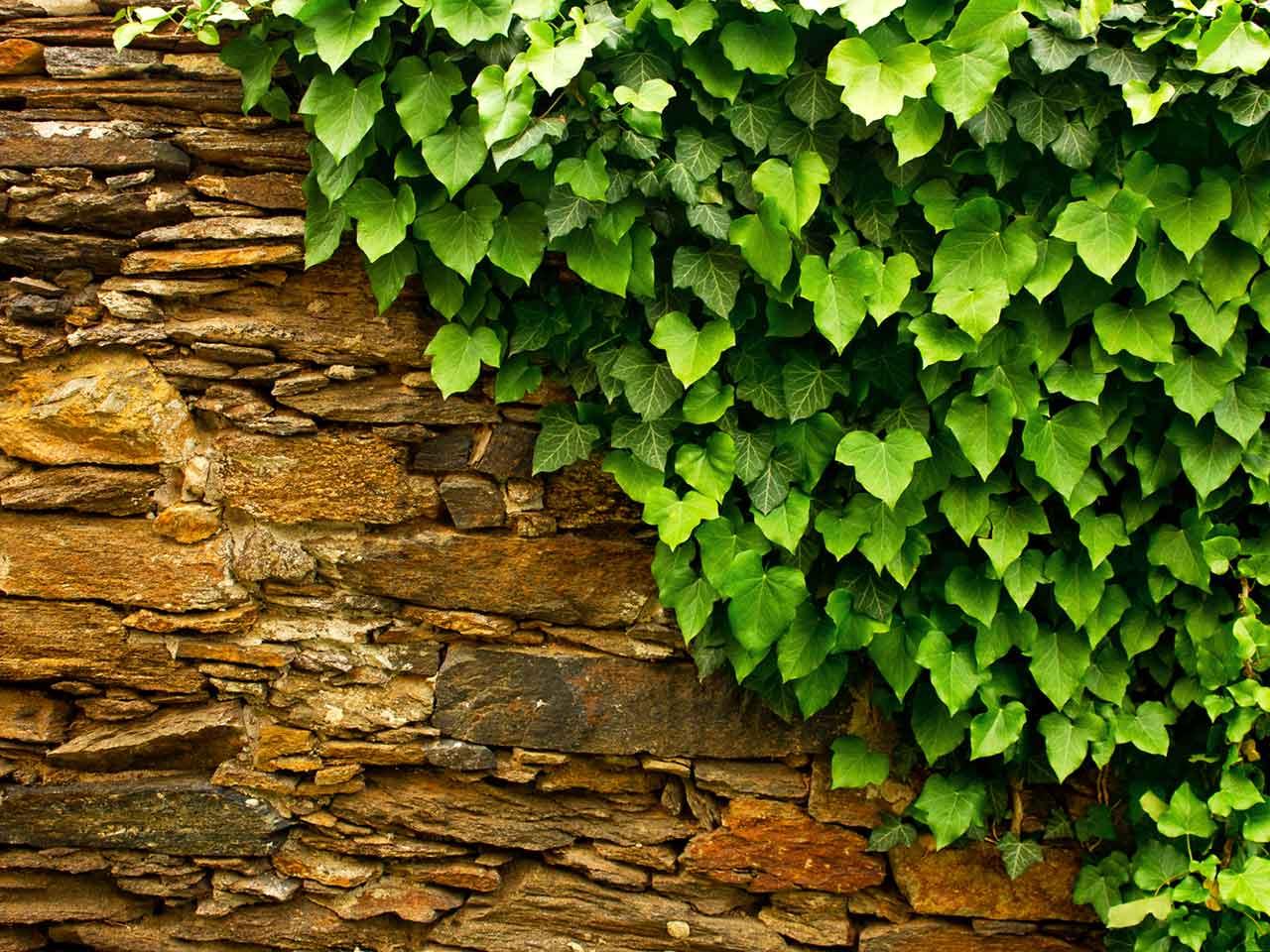 How to grow ivy saga for Case ricoperte di edera