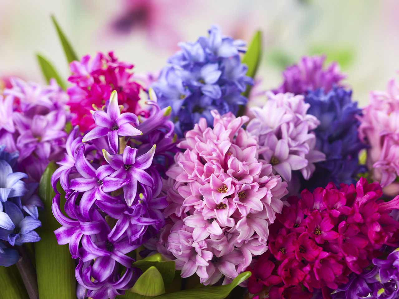 How to grow hyacinths saga mulit coloured hyacinths growing in a container reviewsmspy