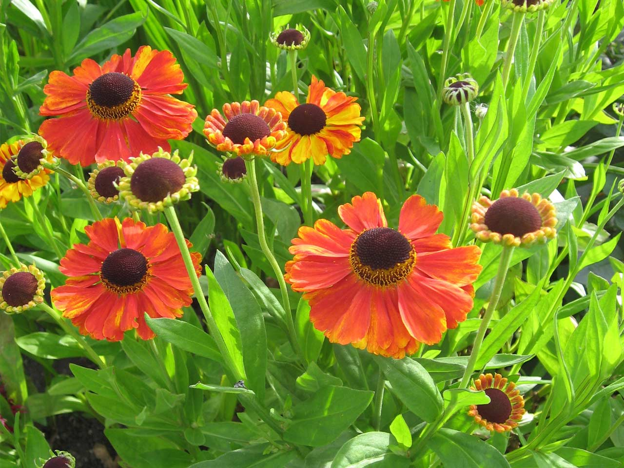 How to grow heleniums saga for Home garden plants