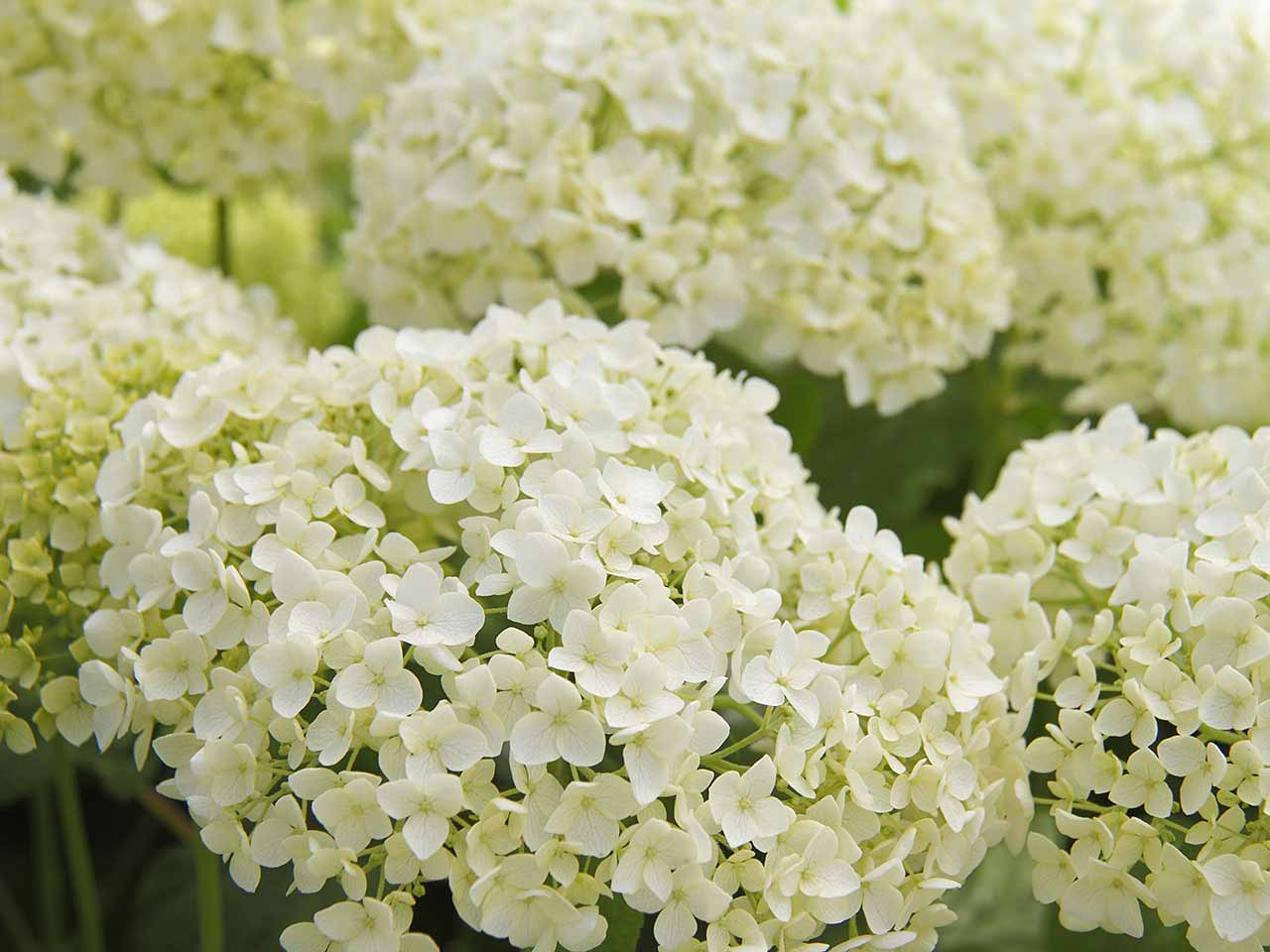 Reliable foolproof plants for small gardens saga hydrangea arborescens mightylinksfo
