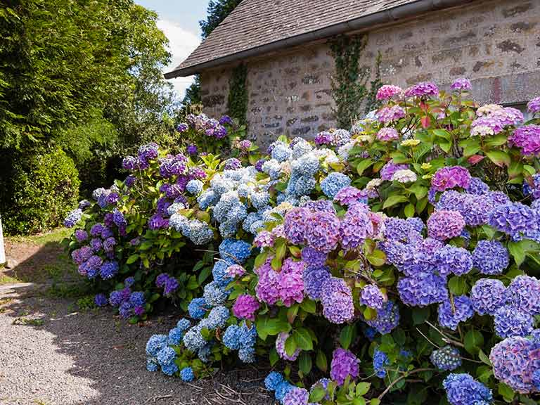 Hydrangeas growing outside a stone cottage