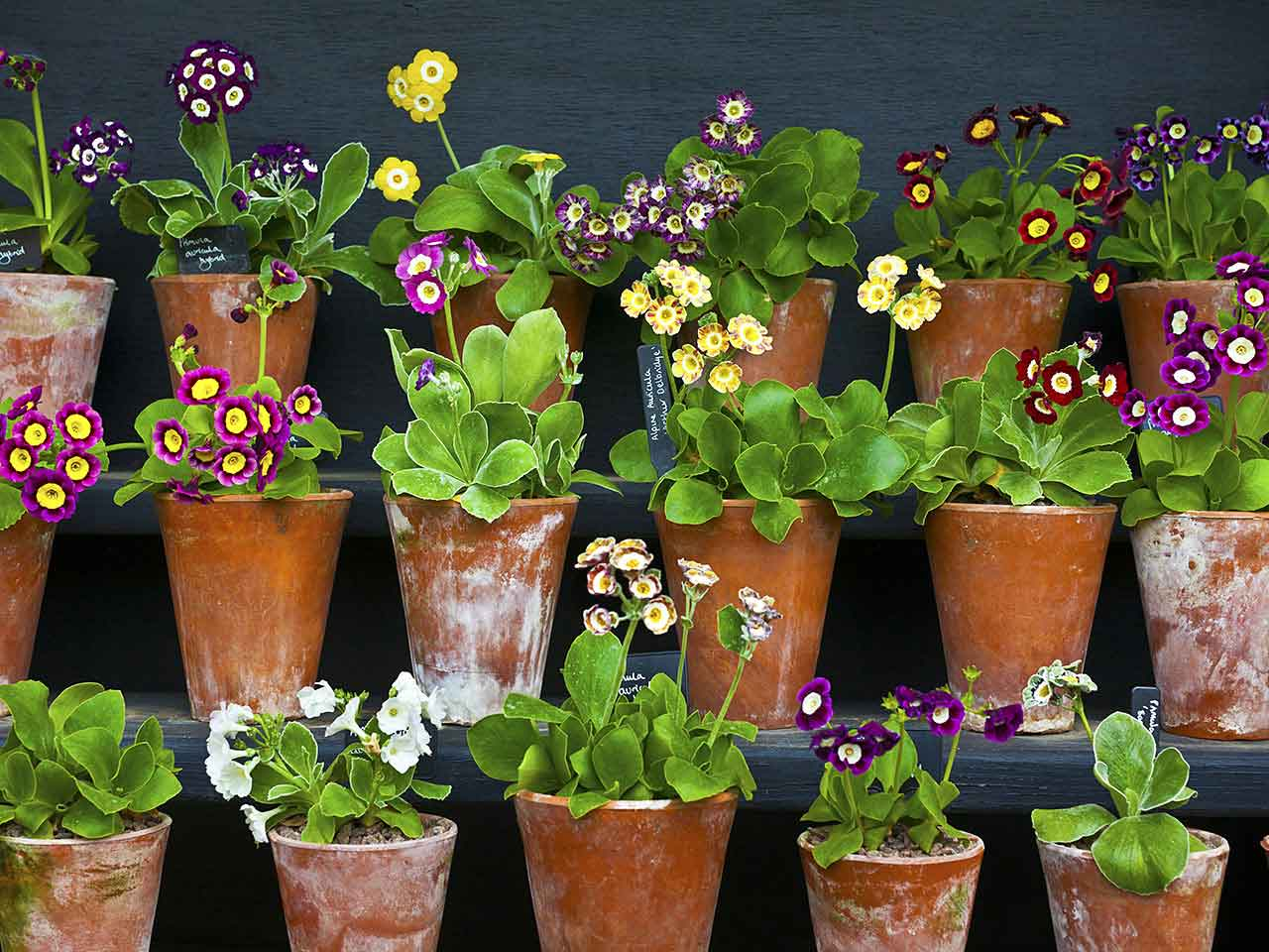 Auriculas in flower pots