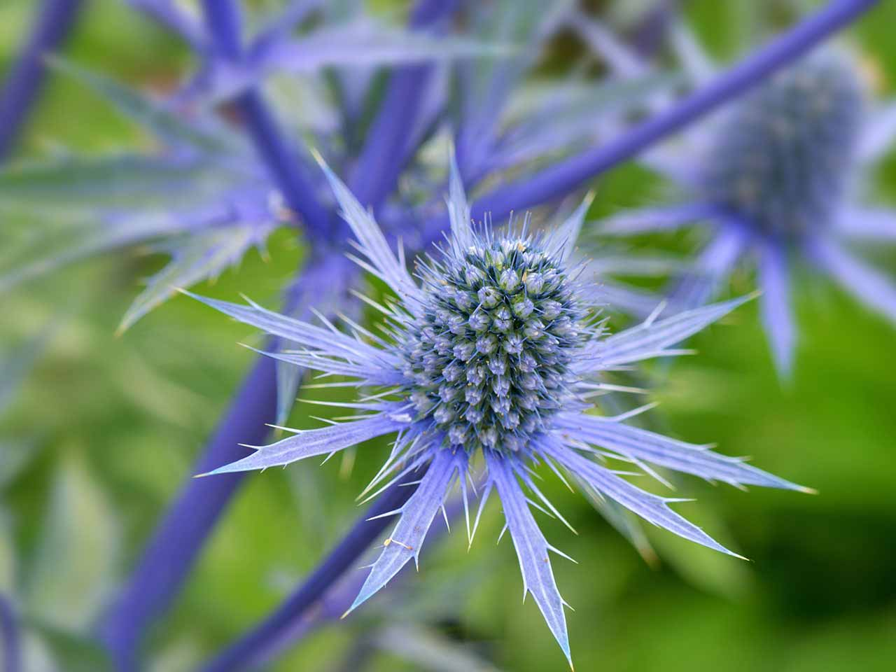 Eryngium planum Blue Sea Holly in garden