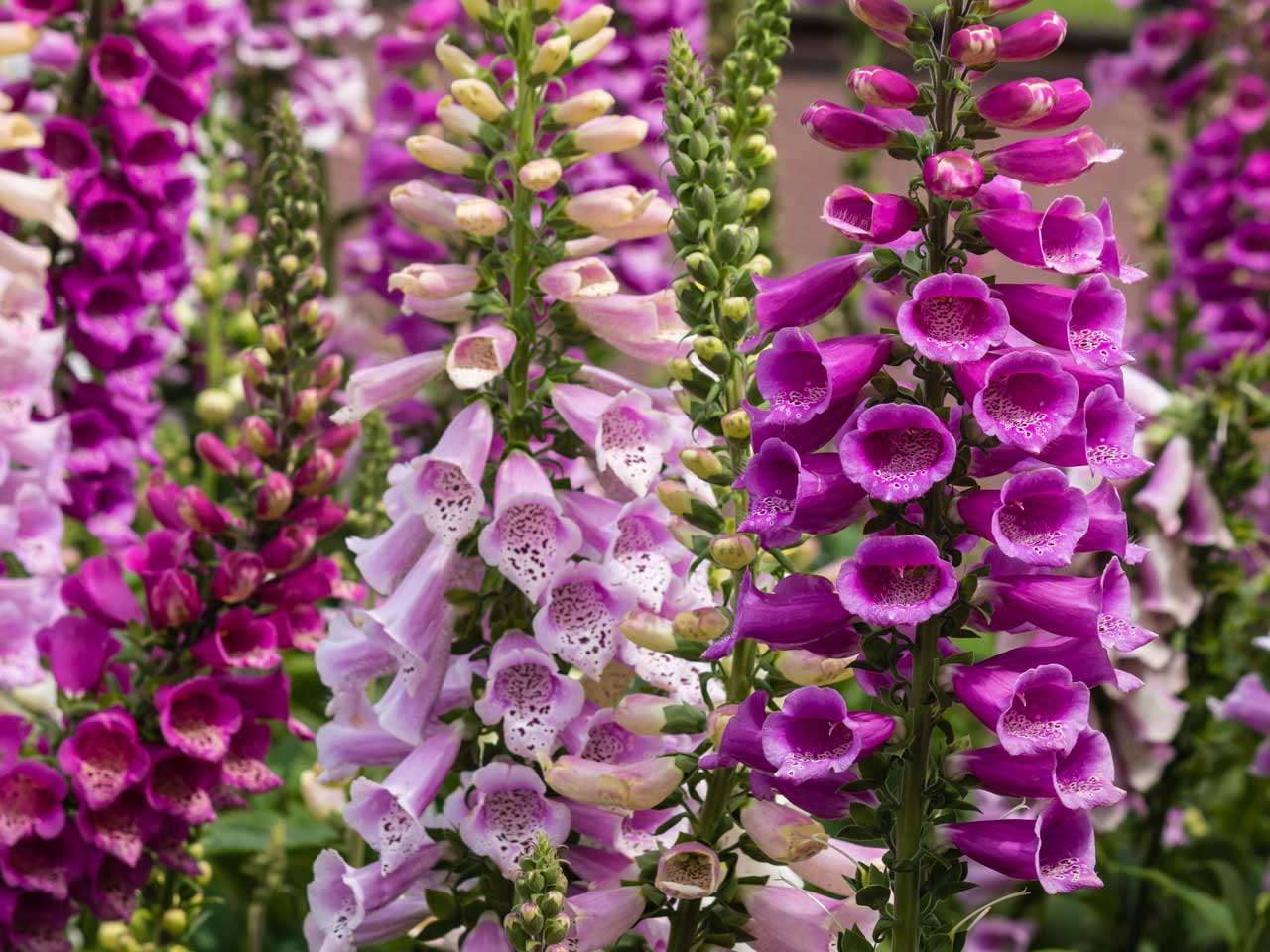 Fantastic How To Grow Foxgloves Saga Download Free Architecture Designs Ponolprimenicaraguapropertycom