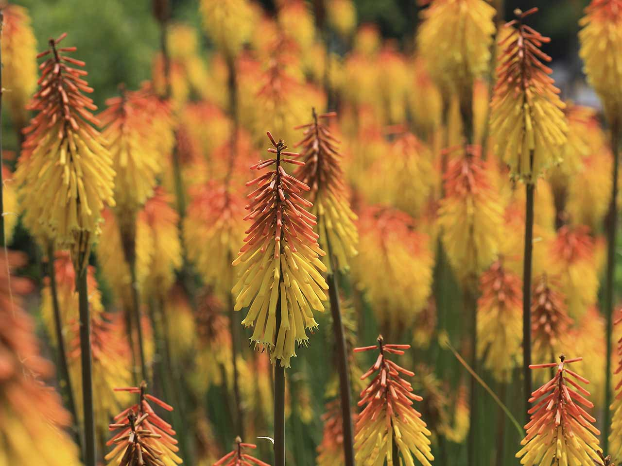 Kniphofias growing outside in garden