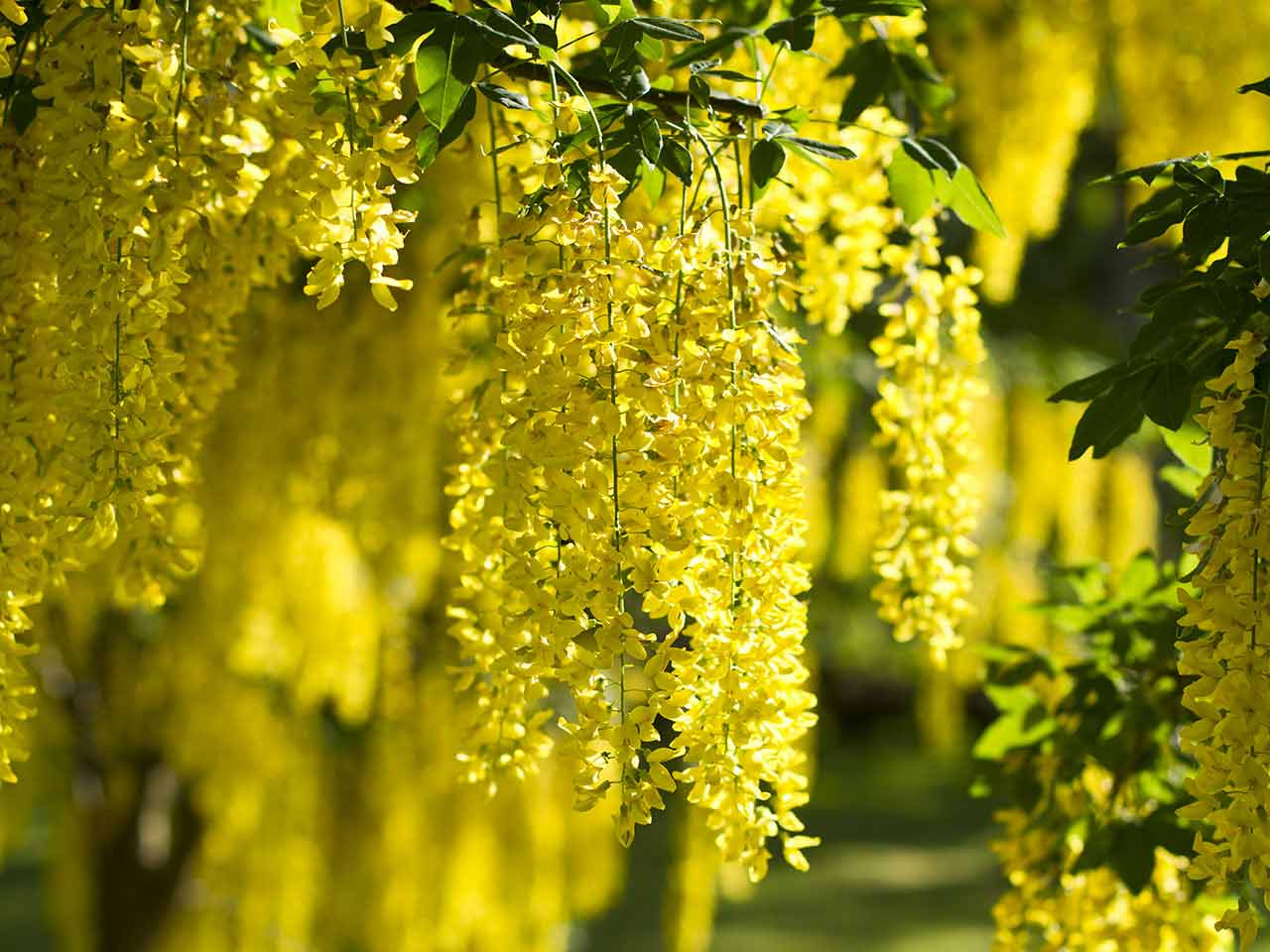 The laburnum, or 'golden chain'
