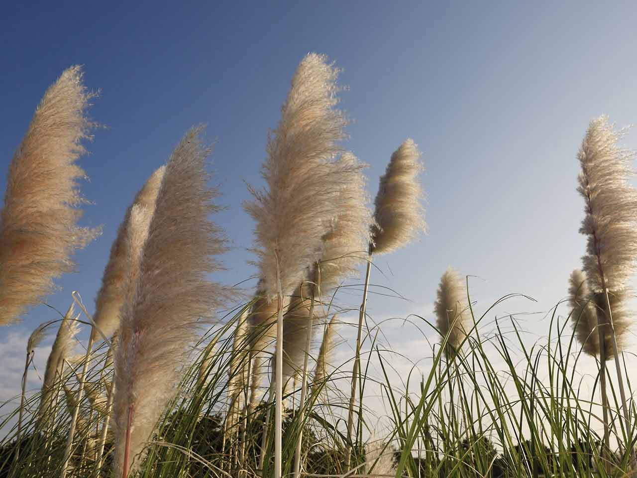 Pampas grass blowing in the breeze