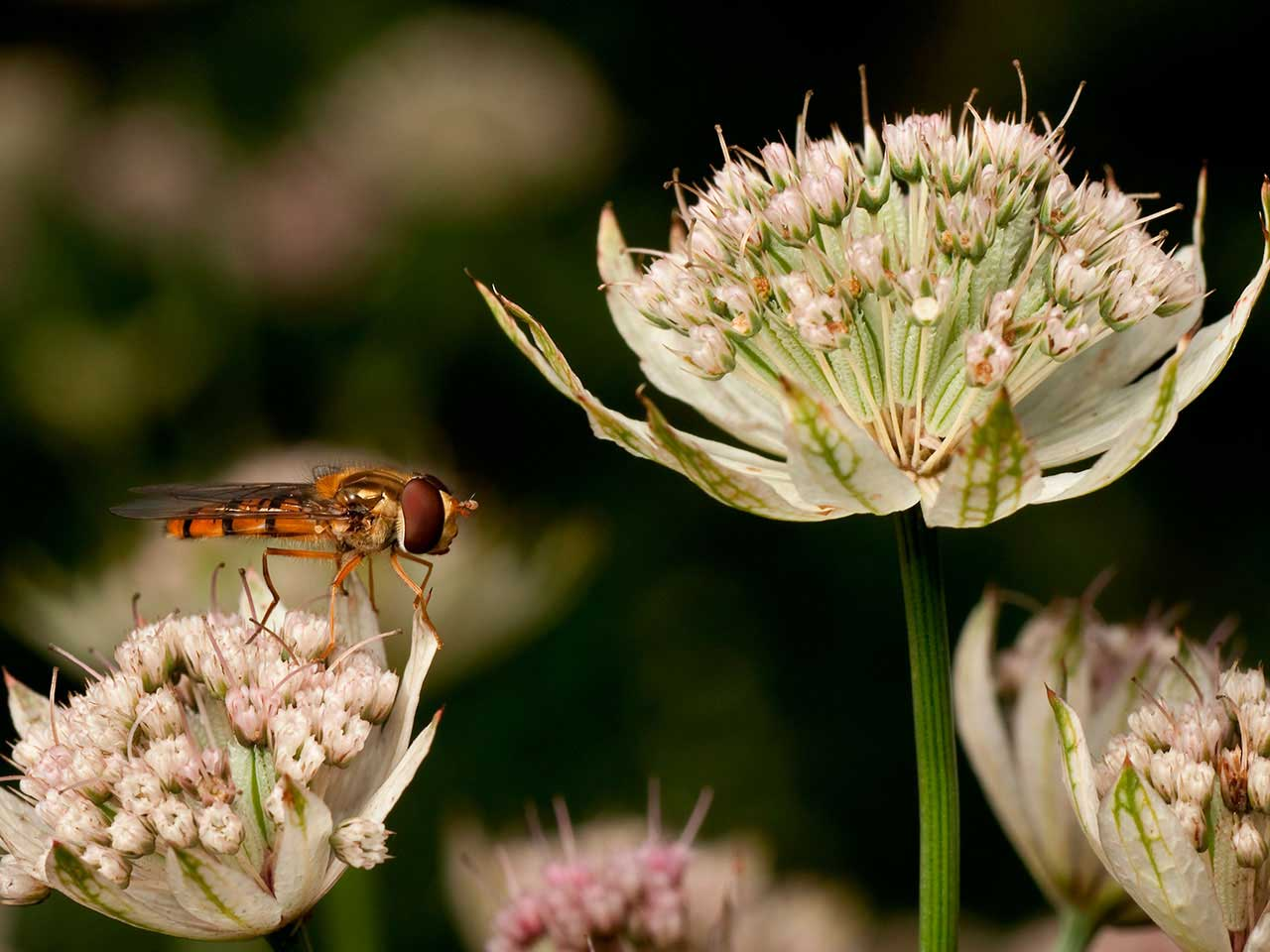 Hovverfly sitting on Astrantia flower
