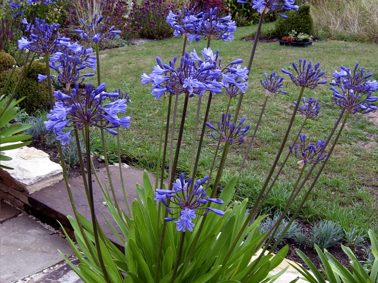 Agapanthus 'Northern Star' photographed by Val Bourne